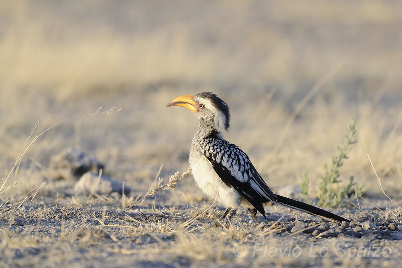 southern yellow billed hornbill tockus leucomelas lo scalzo flavio