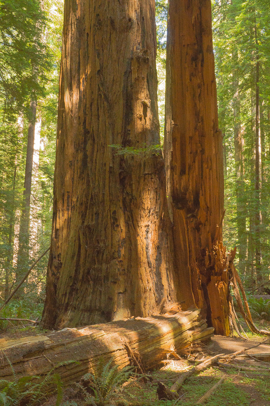 redwoods towering toppled author downs jim