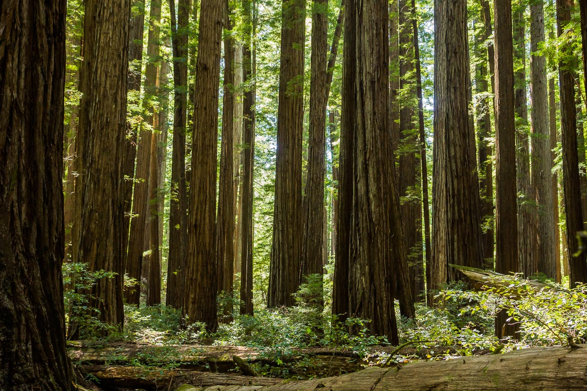 dense stand of redwoods please view large author downs jim