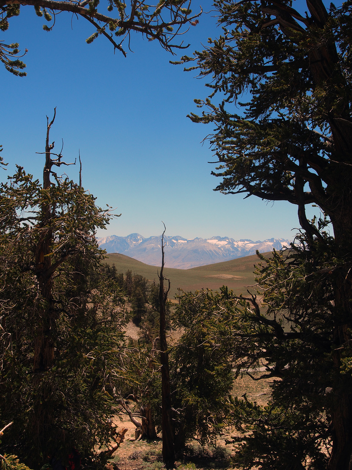 bristlecone pine forest vista author hull ray