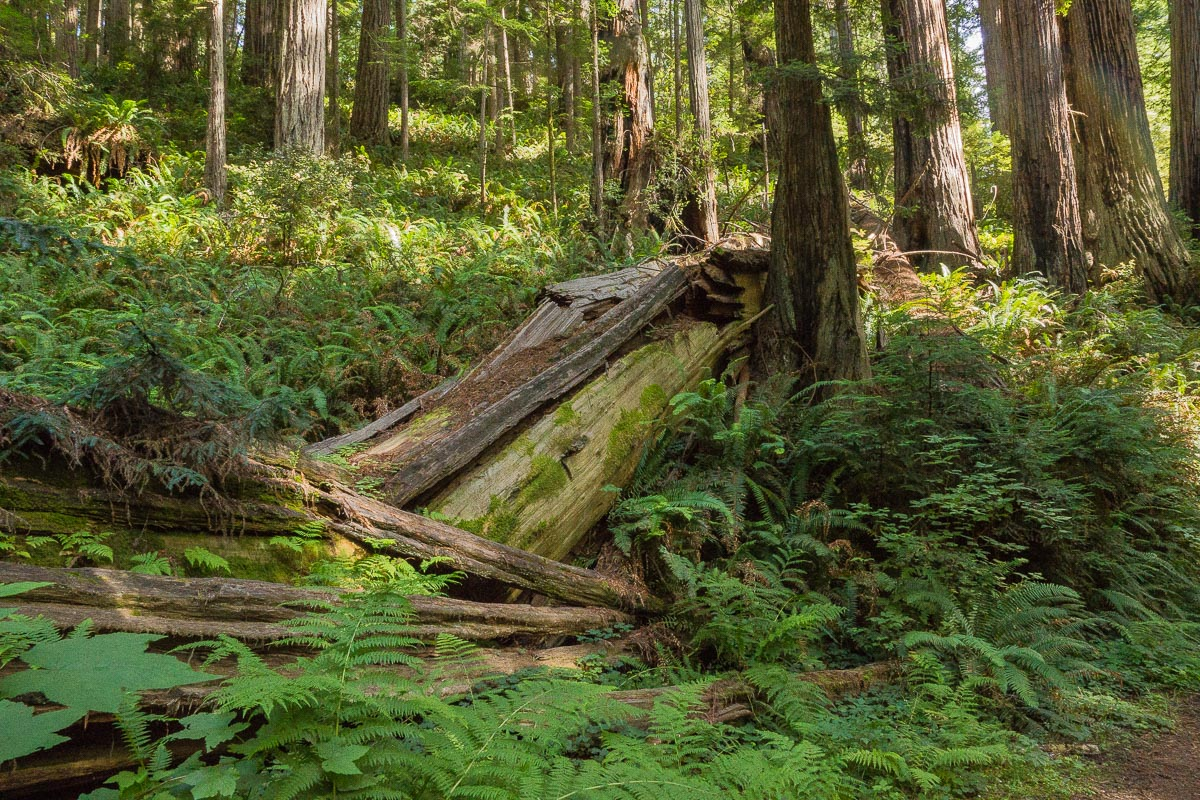 toppled redwood on forest floor enlarge author d downs jim