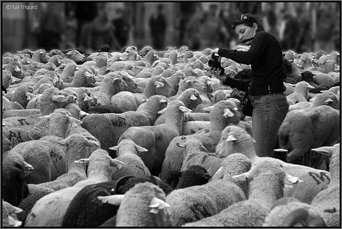 sheep in the city author triguez luis