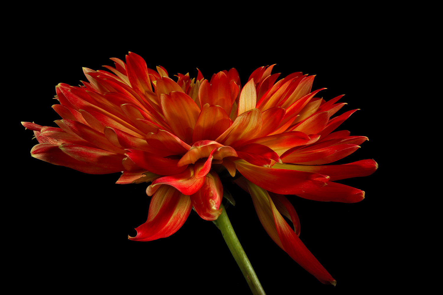 red yellow dahlia side img aw author sava gregory and verena