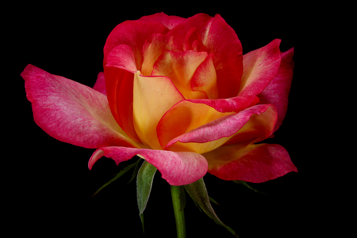last rose of summer tilt img aw author sava gre gregory and verena