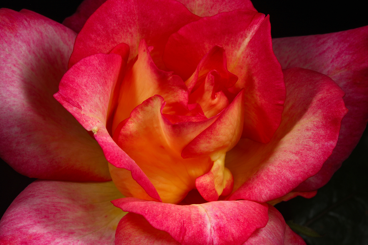 last rose of summer inside img aw author sava g gregory and verena
