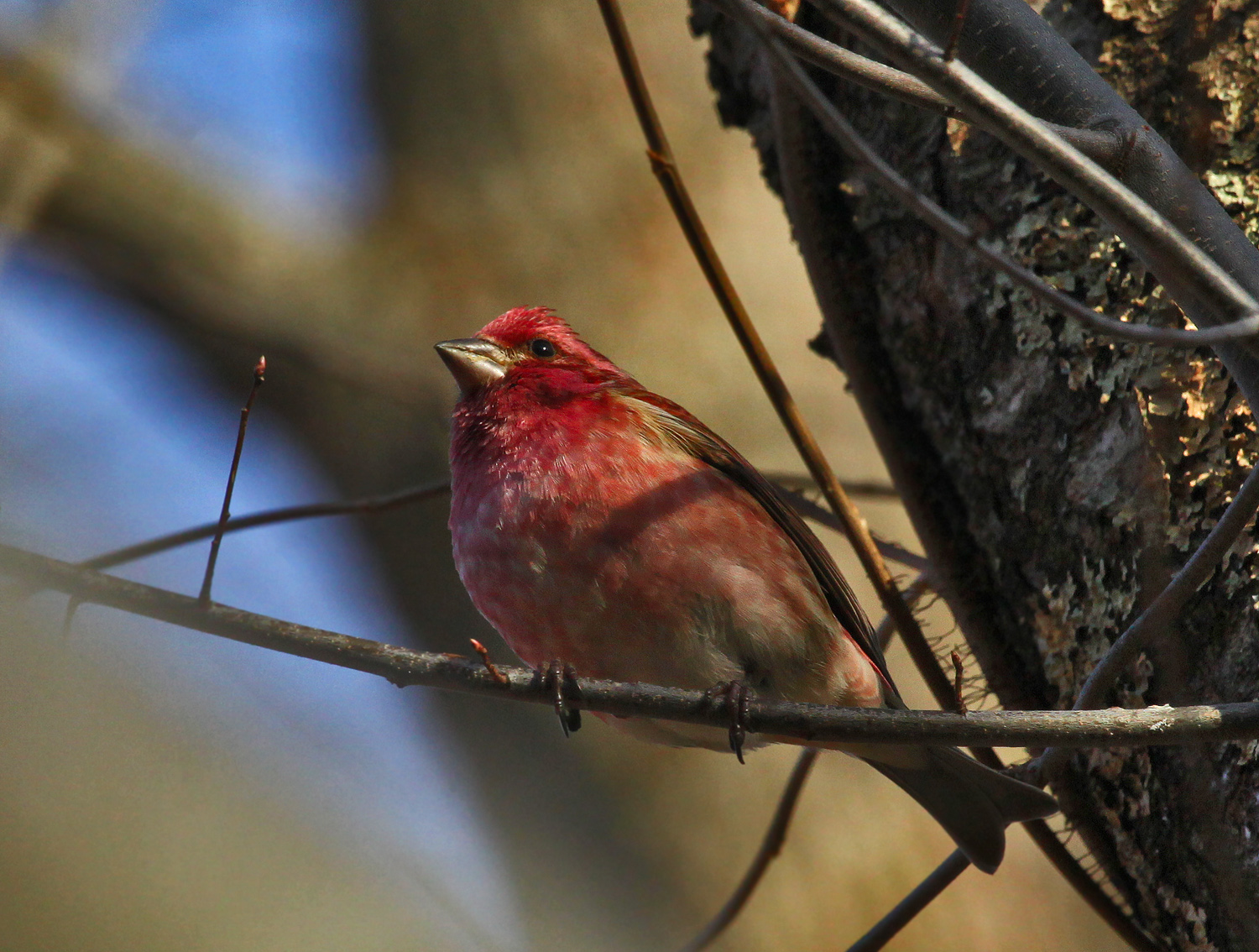purple house finch img aw author sava gregory and verena