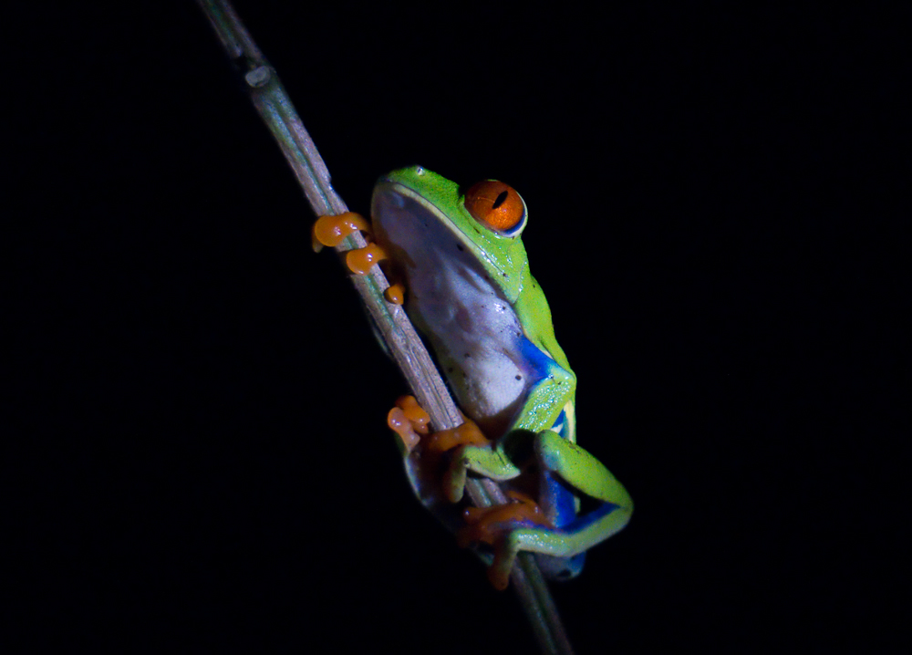 red eyed tree frog lit by flashlight author yin t tom