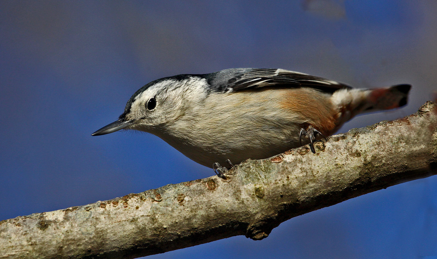 nuthatch stare img aw author sava gregory and ver verena