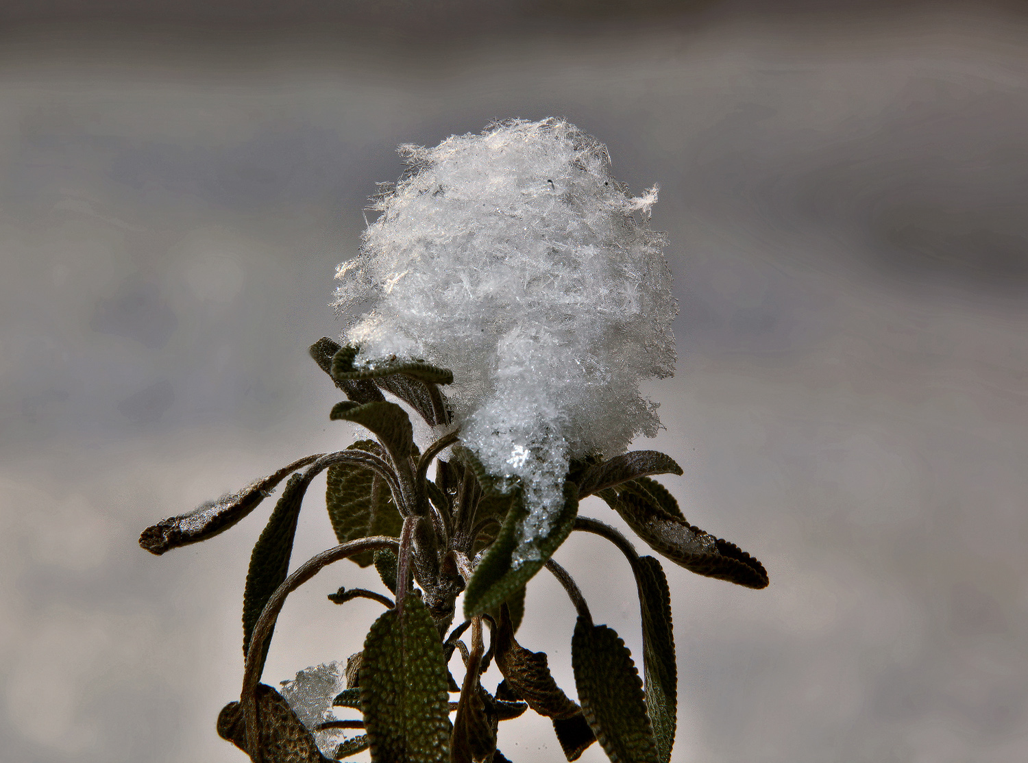 snow capped sage img aw author sava gregory and v verena