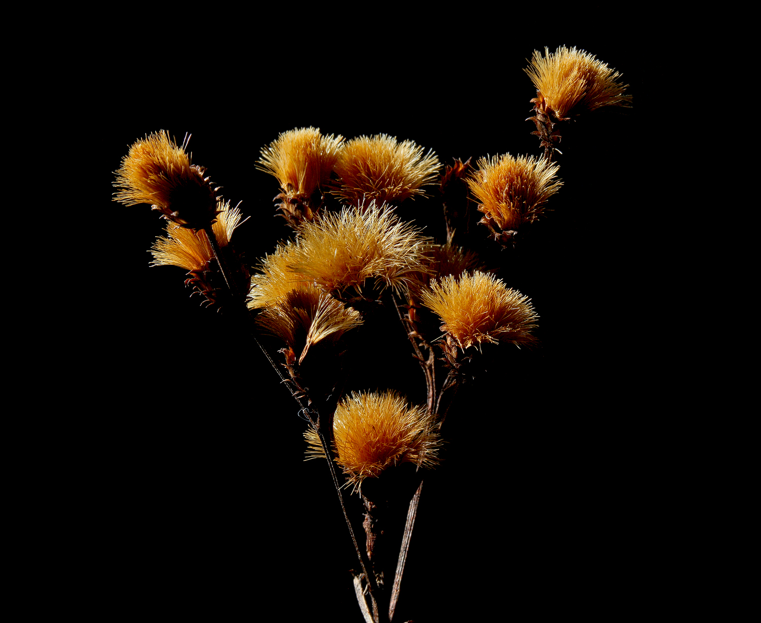 ironweed bristles img aw author sava gregory and verena