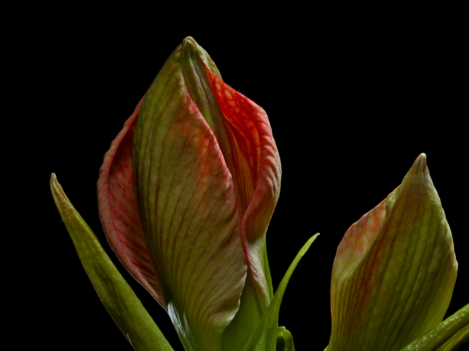 amaryllis the unfolding img aw author sava gregor gregory and verena