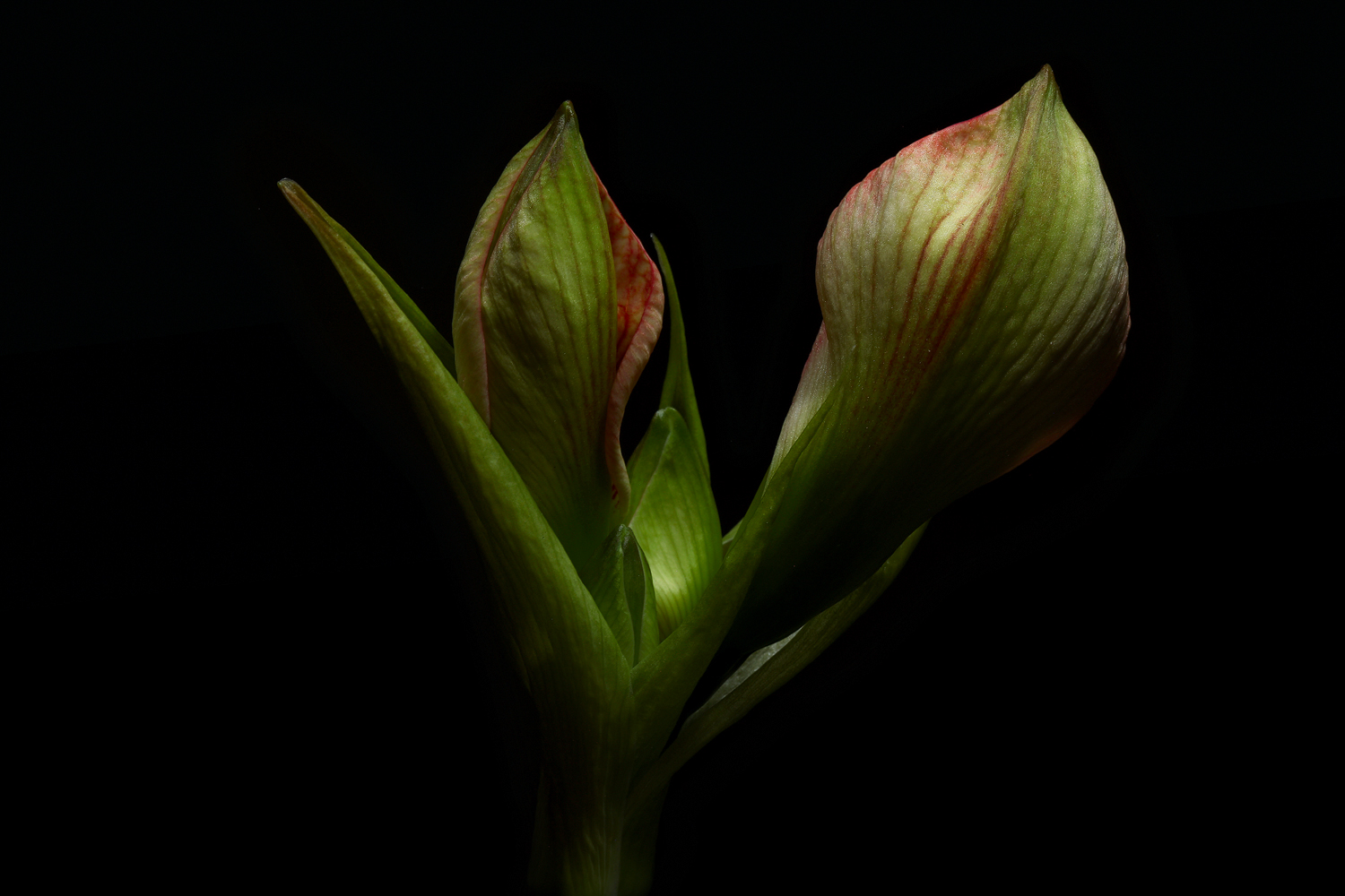 amaryllis buds img aw author sava gregory and ver verena