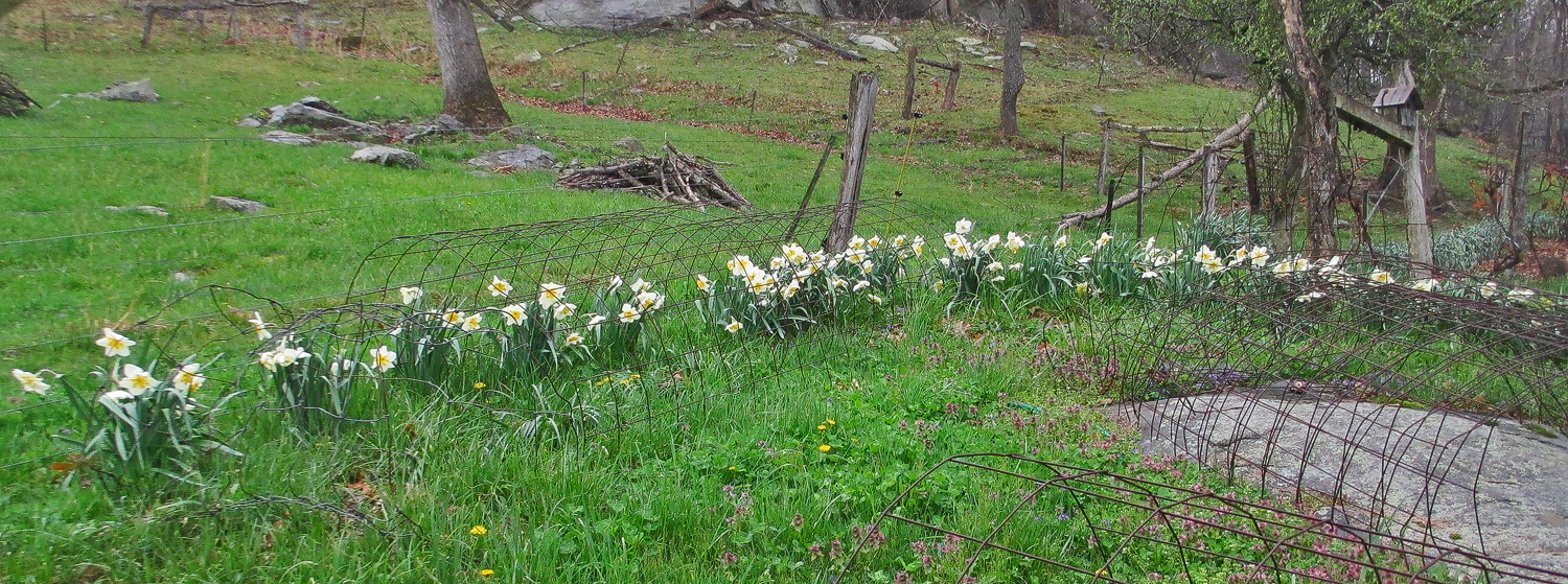 where some of those daffs come from img aw author sava gregory and verena