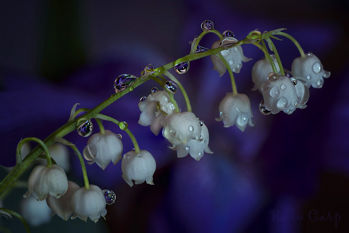 lily of the valley large view author carp radu