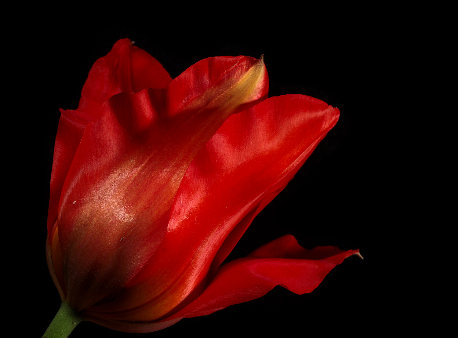 last red tulip img aw author sava gregory and ver verena