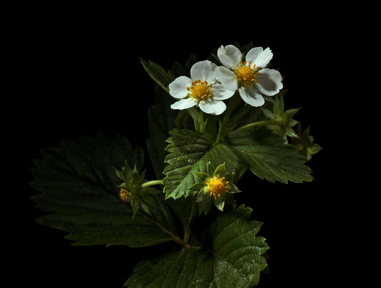 wild strawberry img aw author sava gregory and ve verena