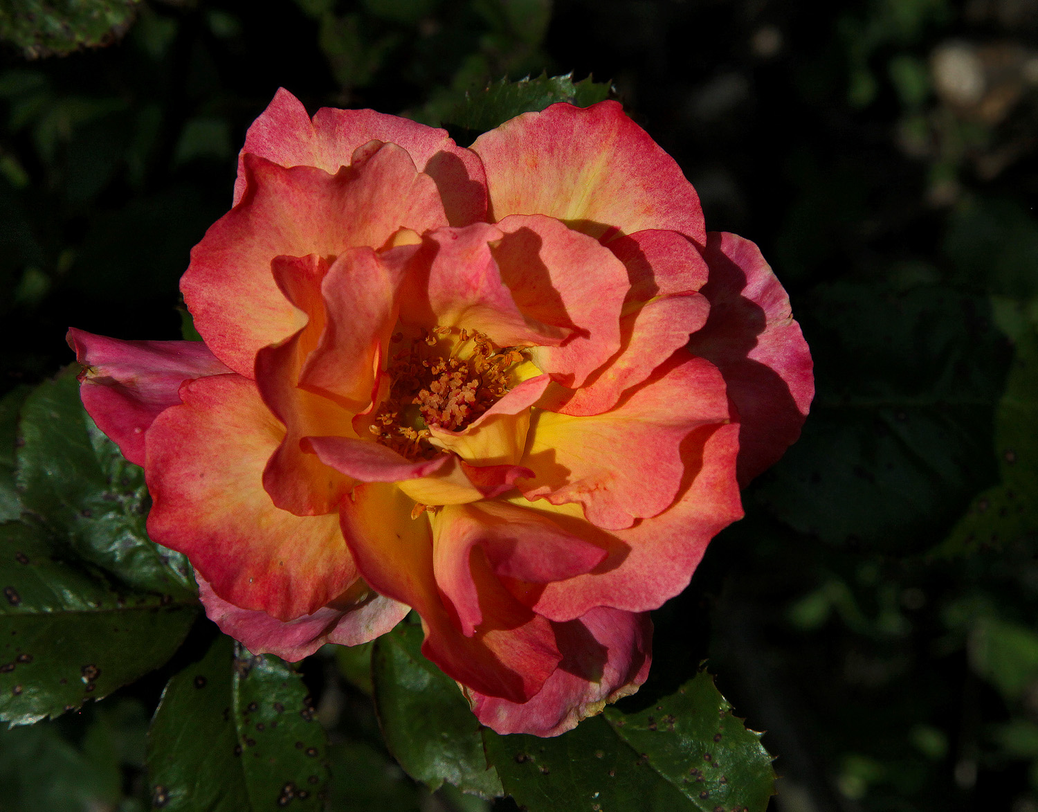 garden rose img aw author sava gregory and verena