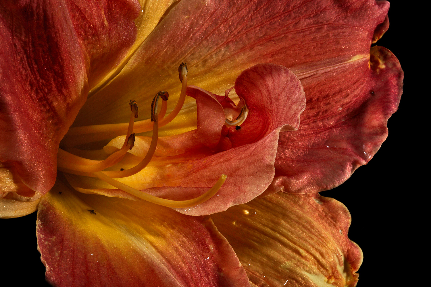 golden lily close up img aw author sava gregory a and verena