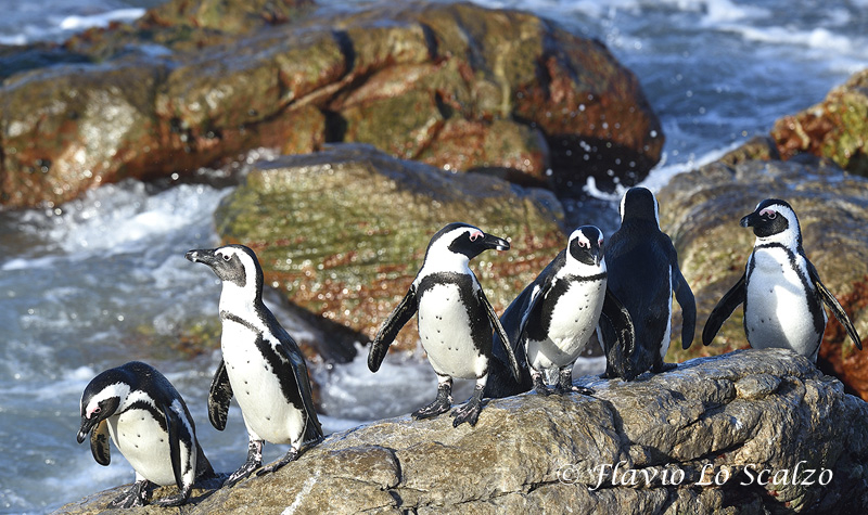 jackass penguin spheniscus demersus stony point a lo scalzo flavio