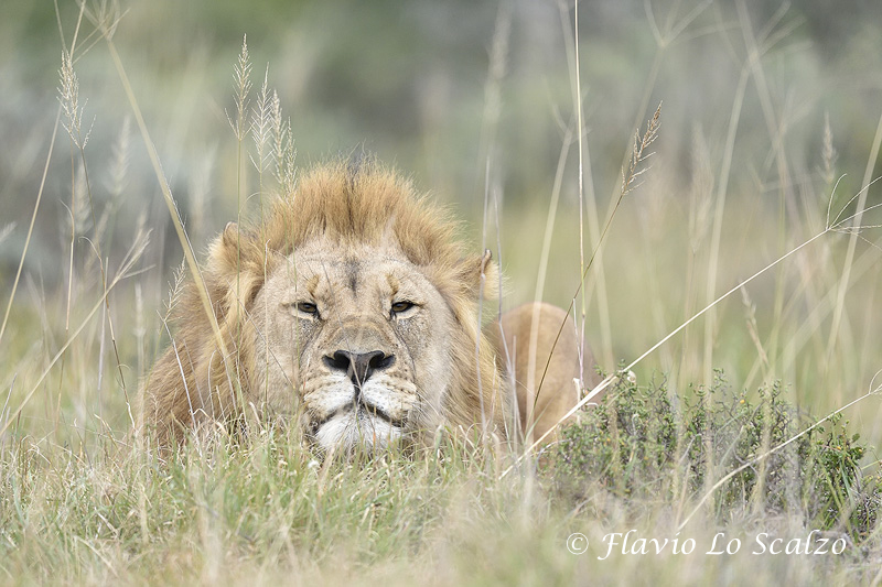 lion panthera leo amakhala game reserve author lo scalzo flavio