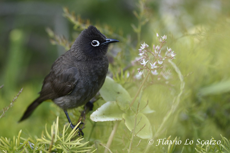 cape bulbul pycnonotus capensis knysna author lo scalzo flavio