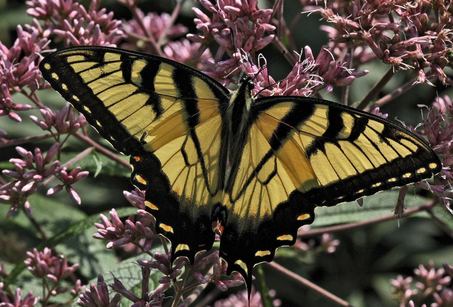 swallowtail backlit img aw author sava gregory a and verena