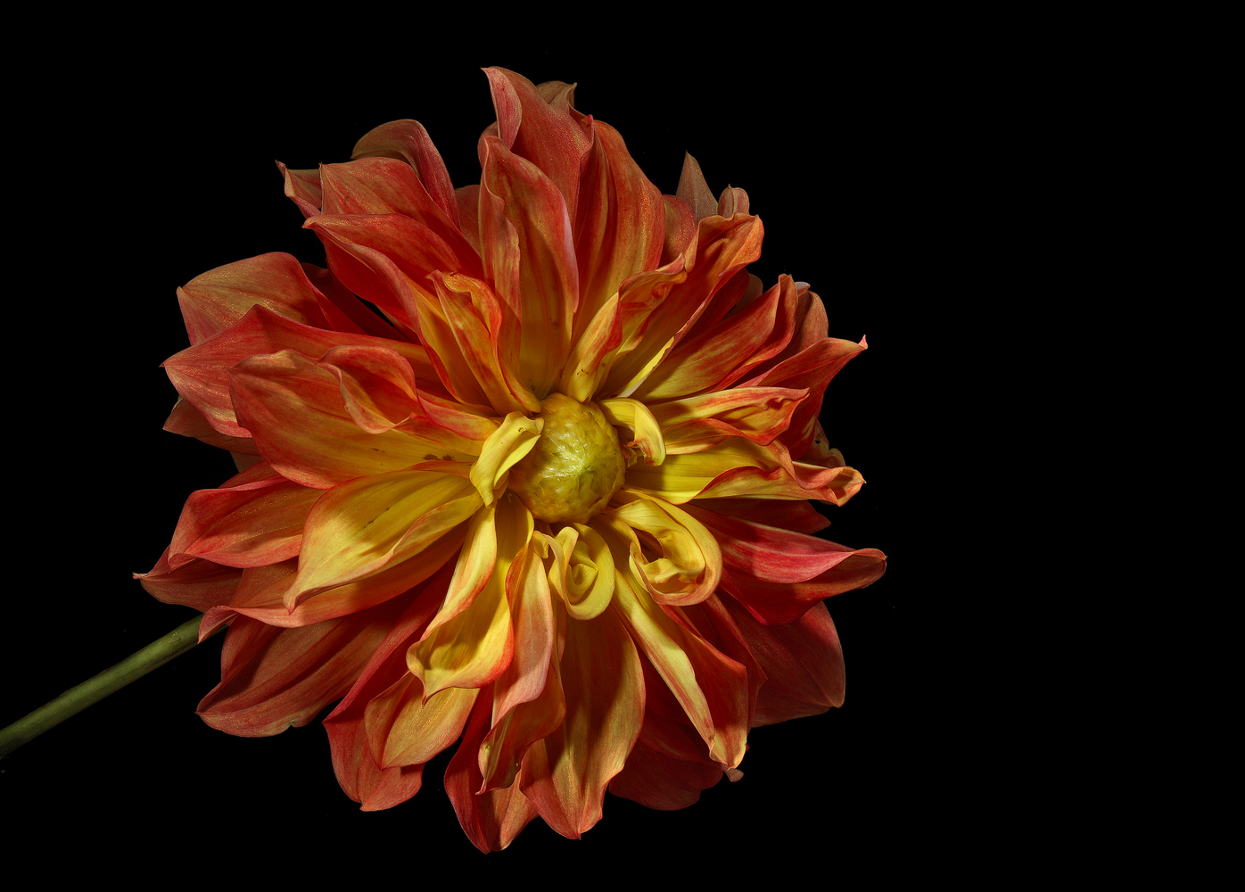 multi flavored dahlia img aw author sava gregory and verena
