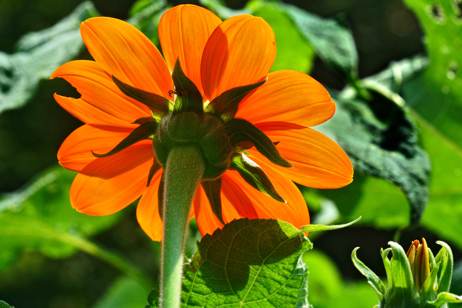 mexican sunflower dsc aw author sava gregory and verena
