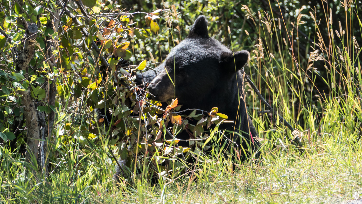 black bear foraging for berries author yin tom