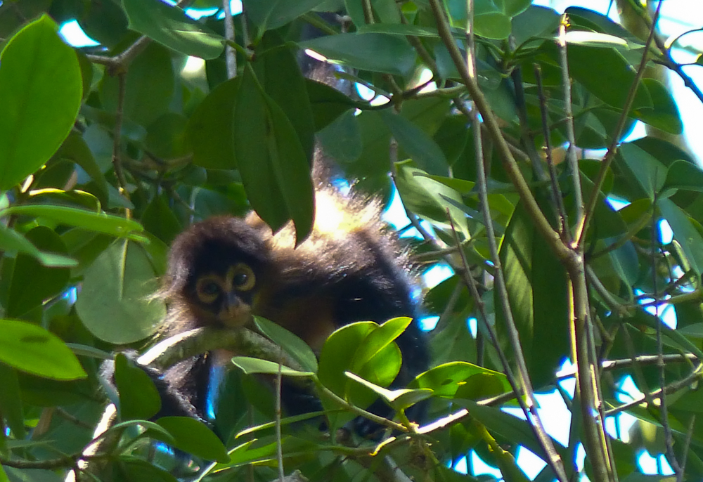 young spider monkey lr author yin tom