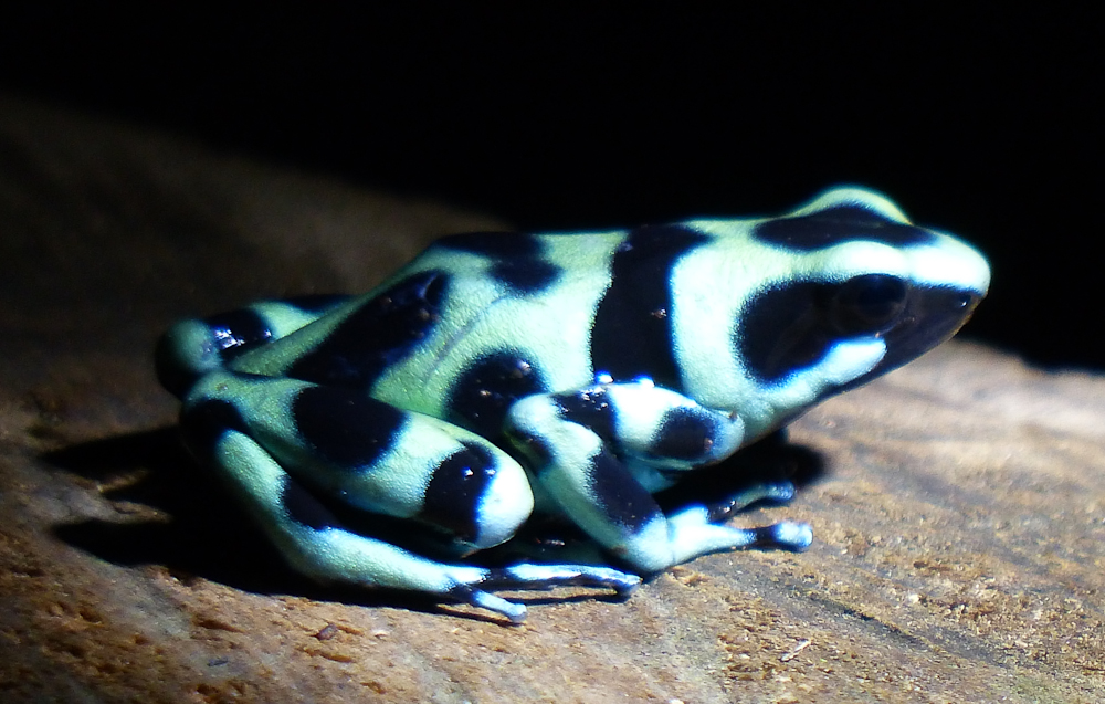 black and green poison dart frog lr author yin tom