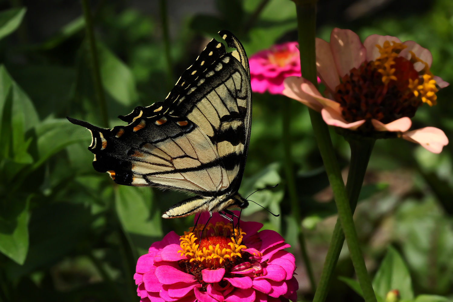 zinnia delight img aw author sava gregory and ver verena