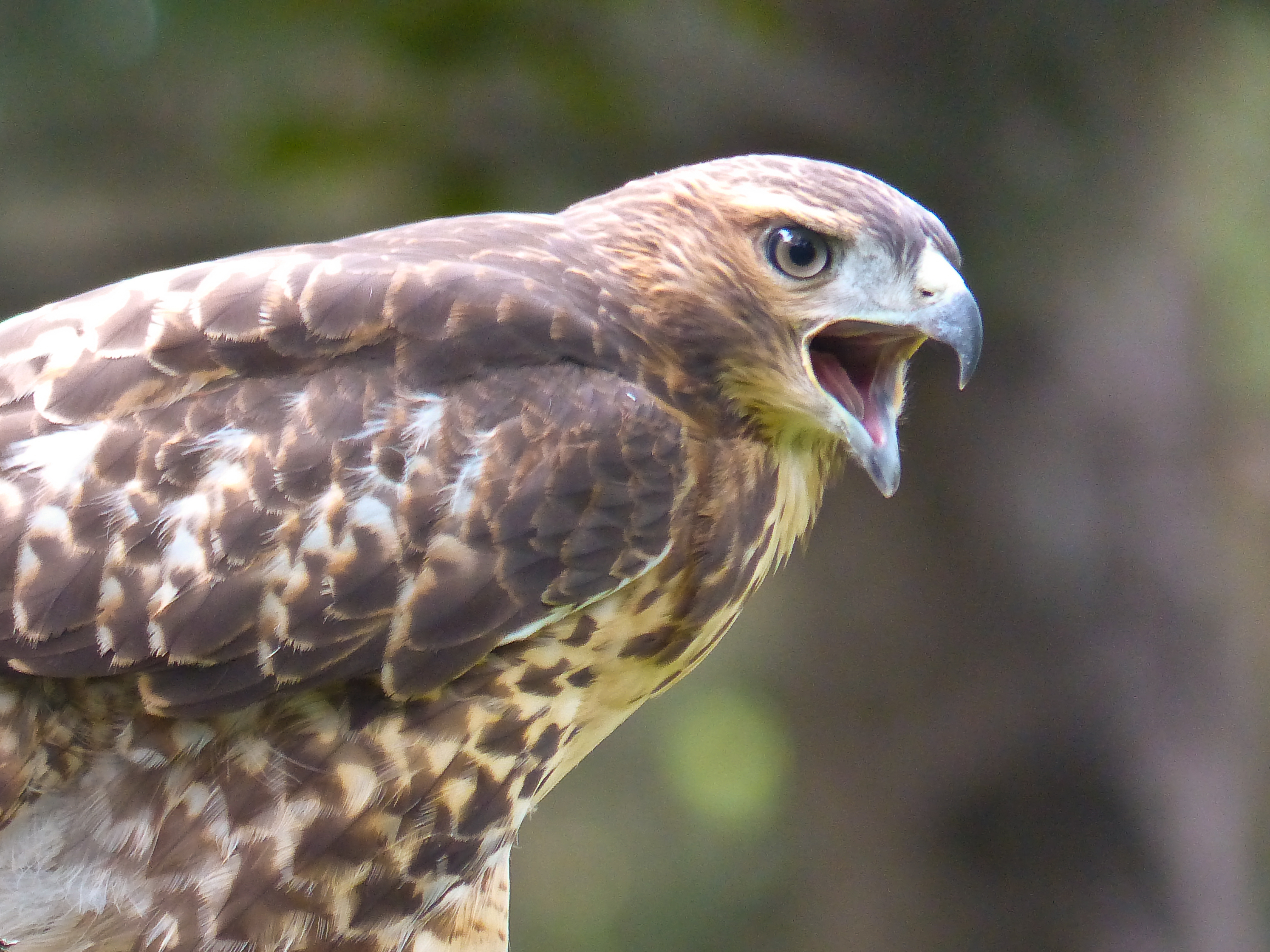 red tailed hawk eyeass lr author yin tom
