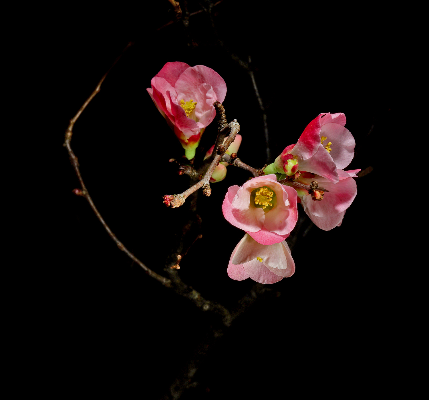 wild quince in dec dsc aw author sava gregory and verena