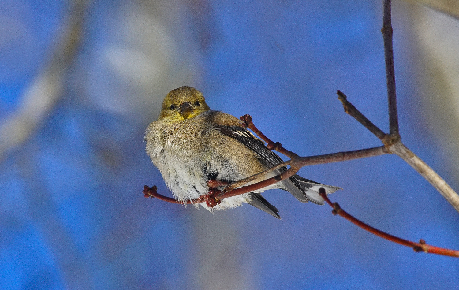 american goldfinch fluffed dsc aw author sava gr gregory and verena
