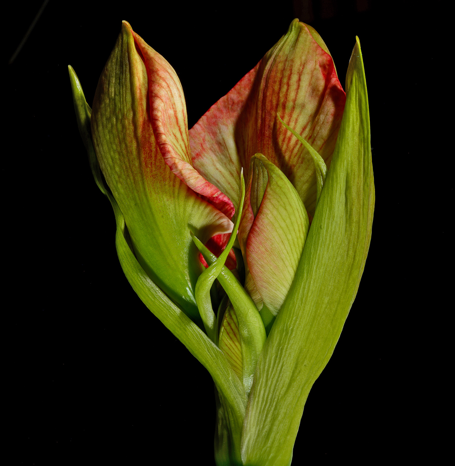 amaryllis unfolding dsc aw author sava gregory a and verena