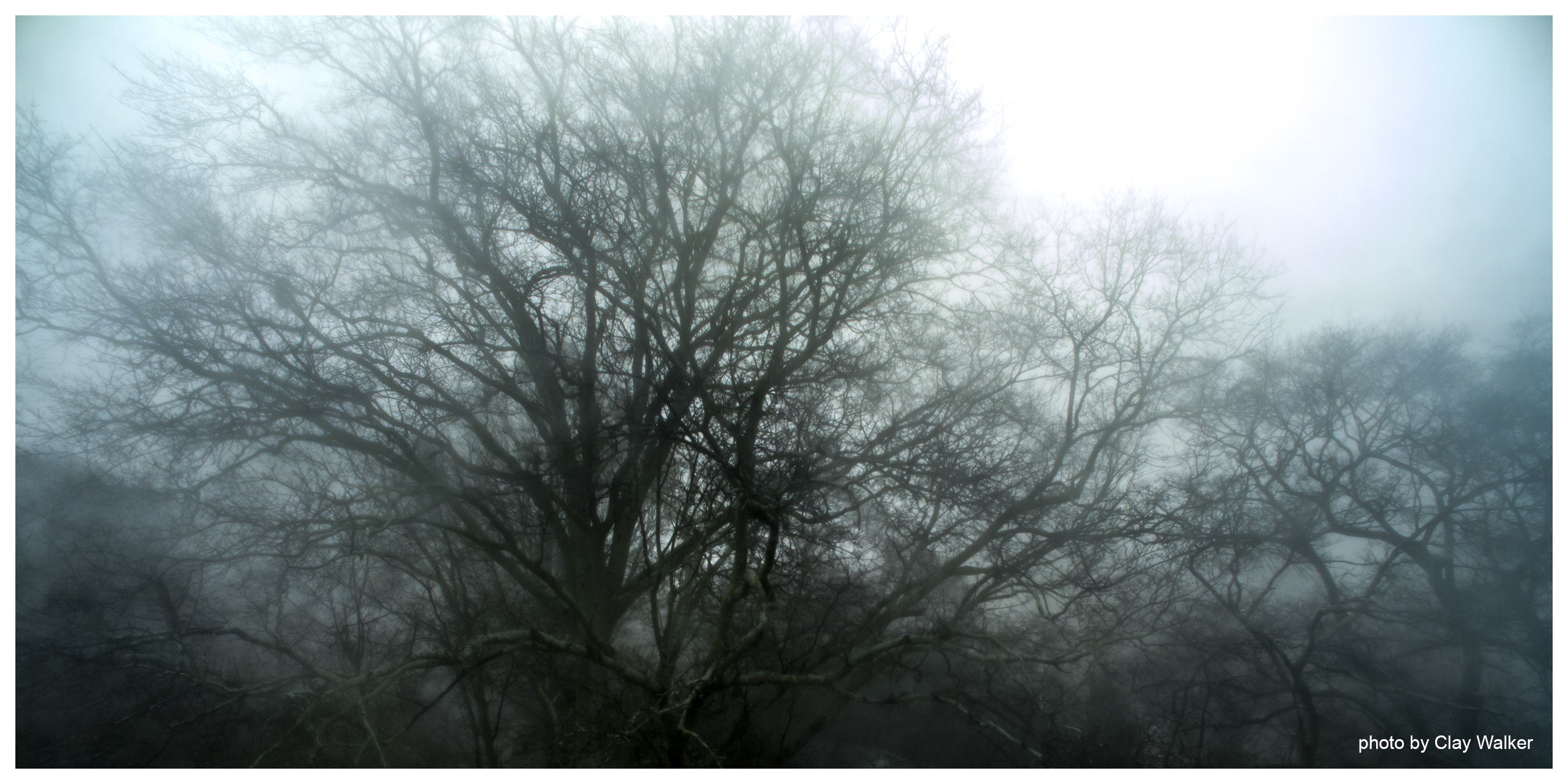 winter trees in fog author walker clay