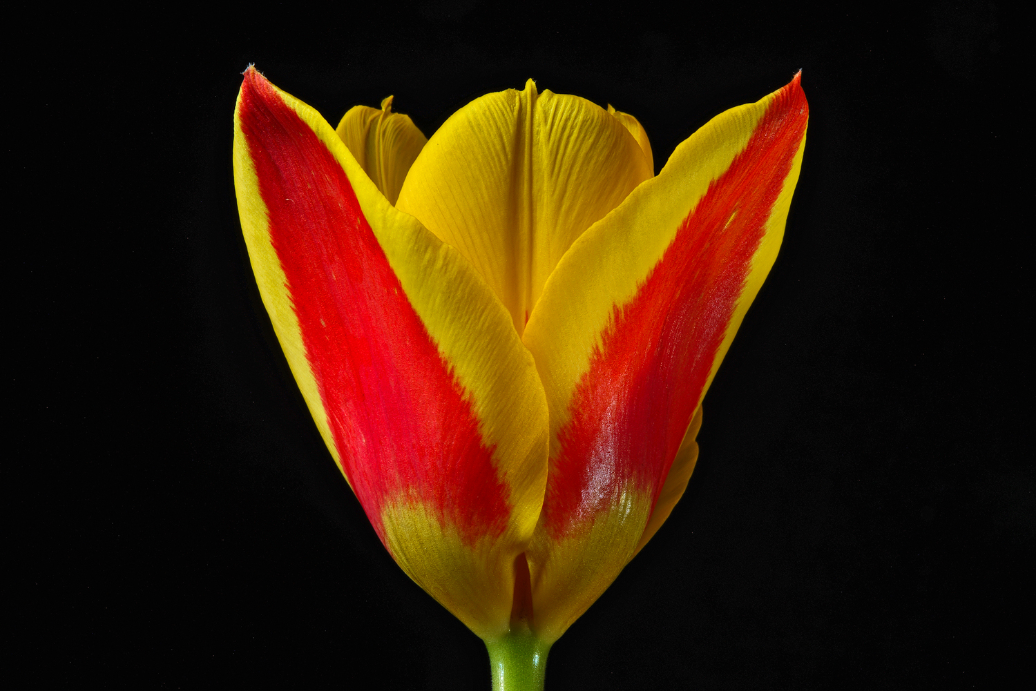 tulip dsc aw author sava gregory and verena