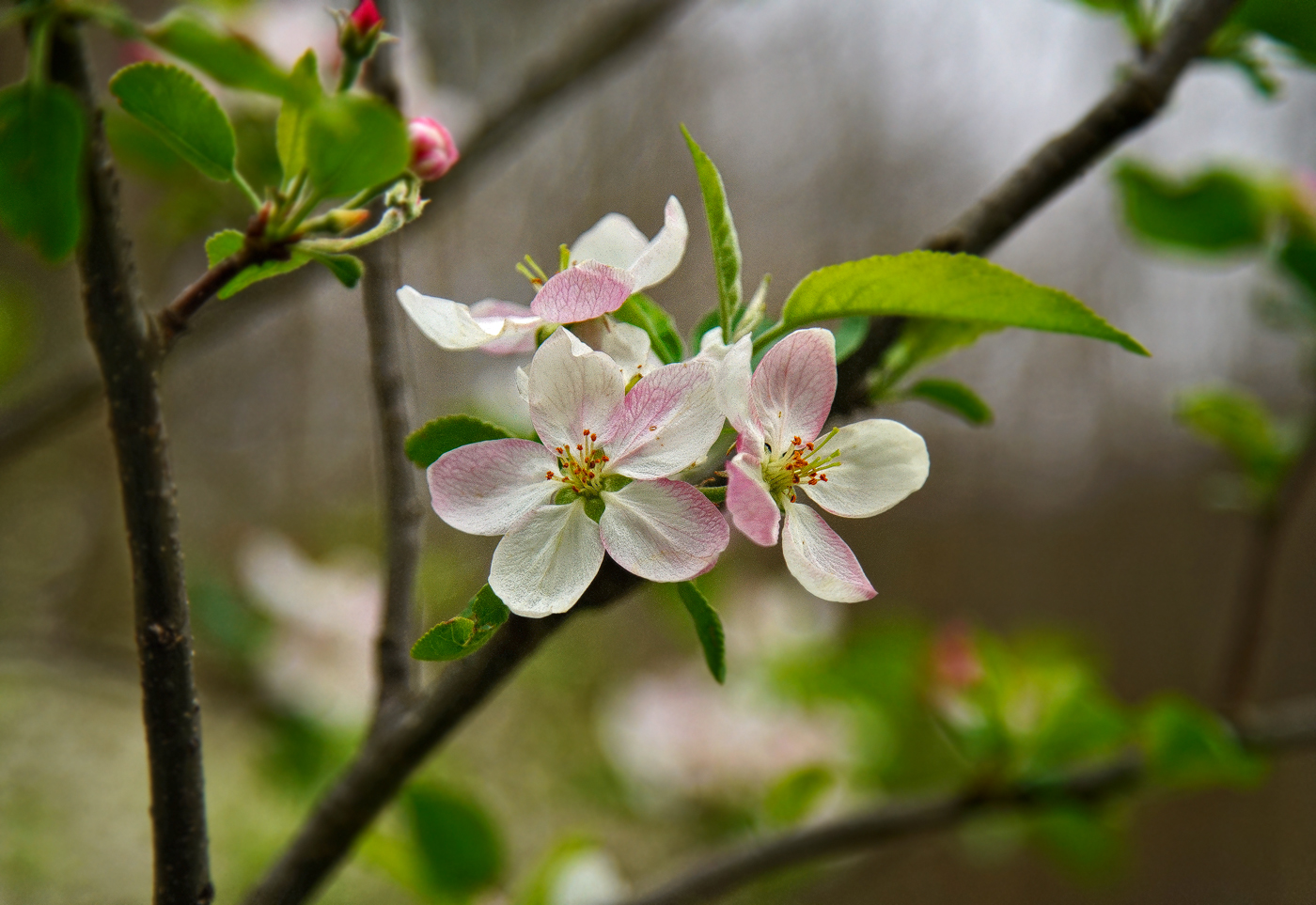 apple pink and white dsc aw author sava gregory a verena