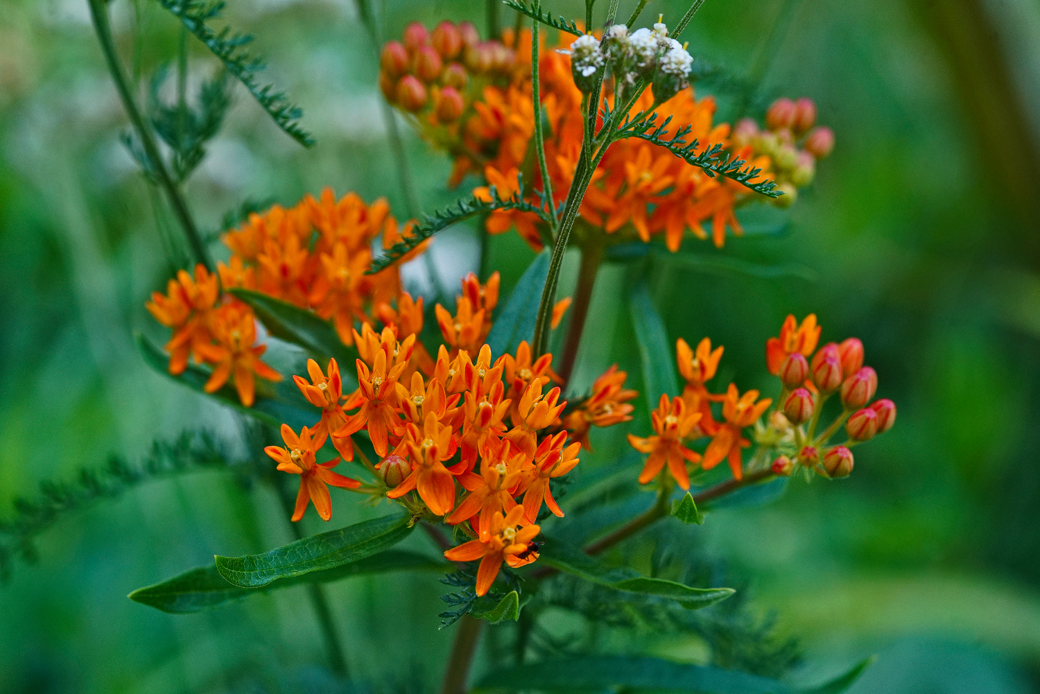 butterfly weed in situ dsc aw author sava gregory and verena