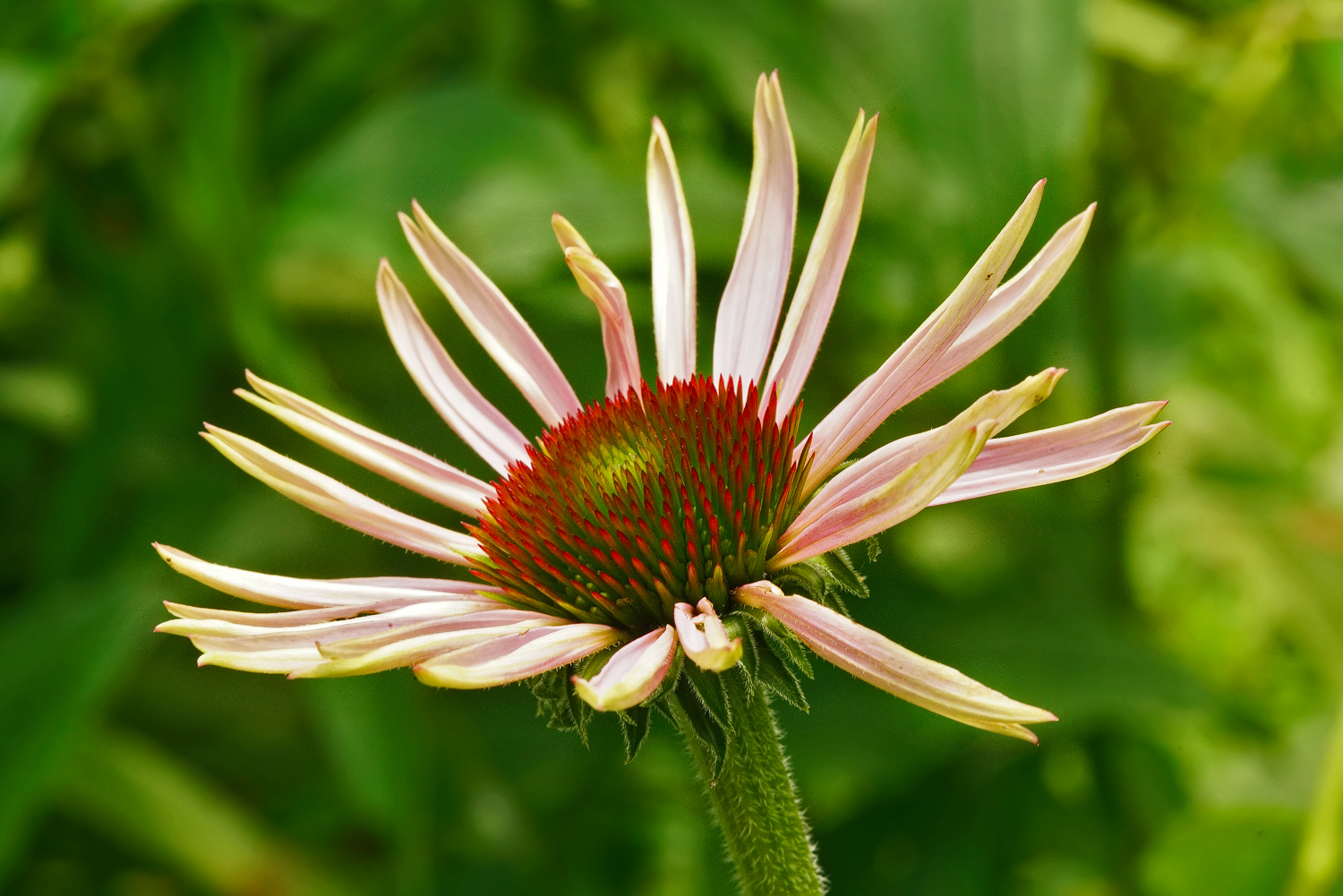 adolescent echinacea dsc aw author sava gregory a and verena