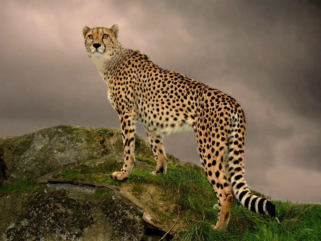 cheetah author coulter ron