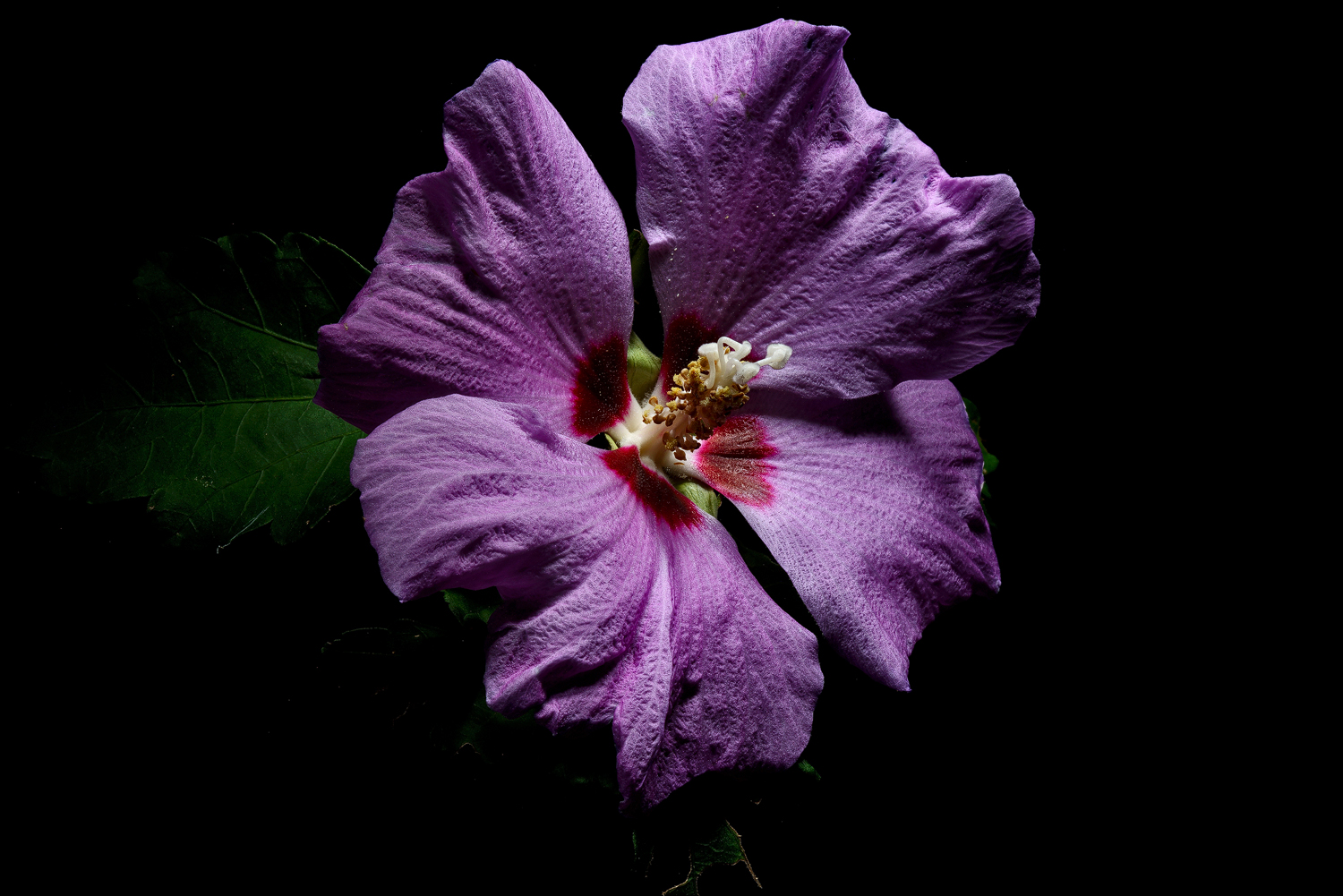 purple rose of sharon dsc aw author sava gregory and verena