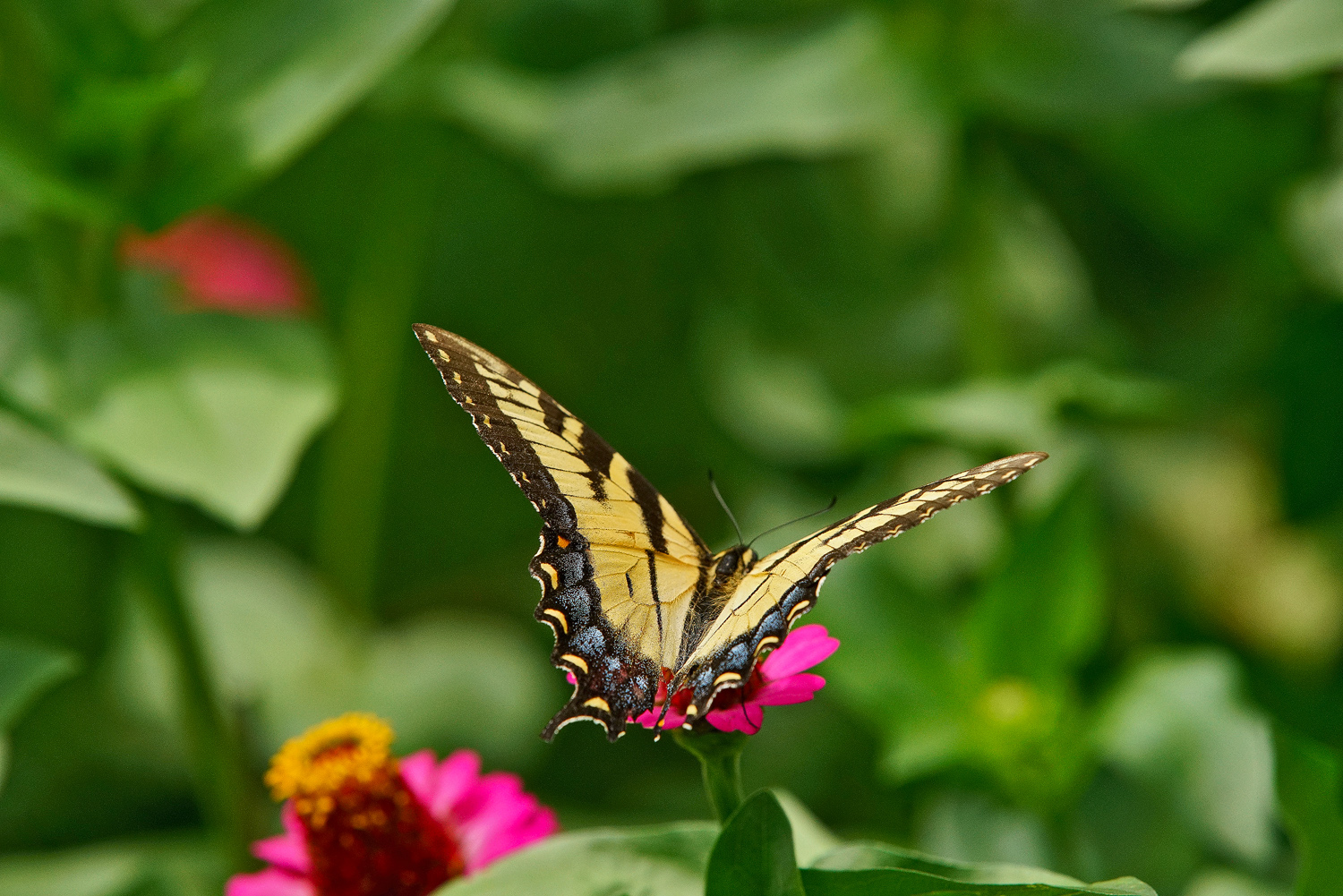 swallowtail in a sea of green dsc aw author sava gregory and verena
