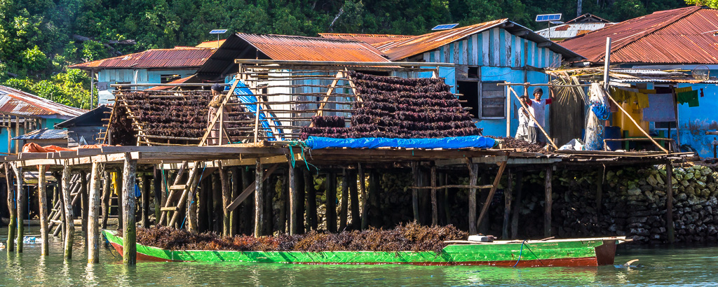 sea grass harvest and drying in kokas indonesia la downs jim