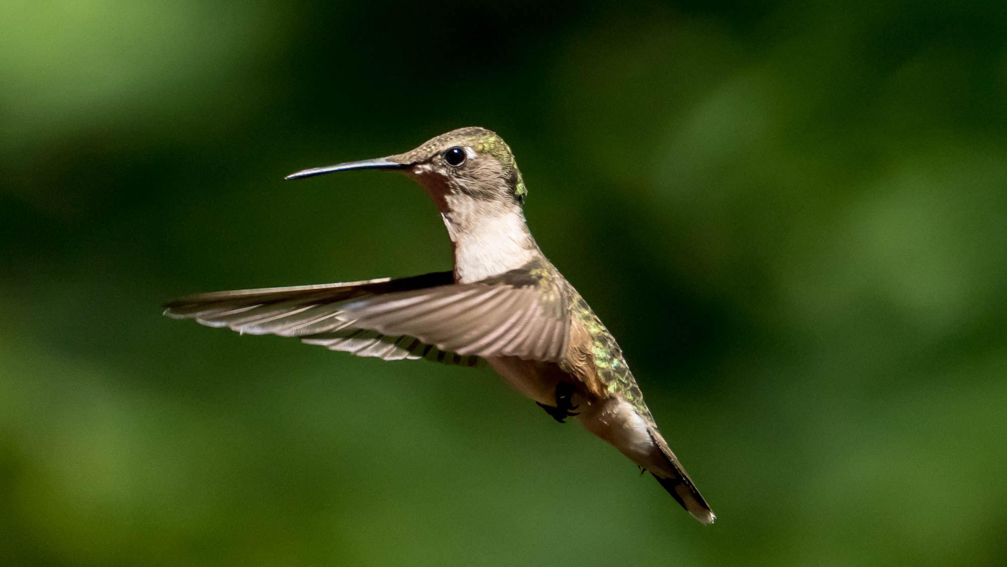 ruby throated hummer author yin tom