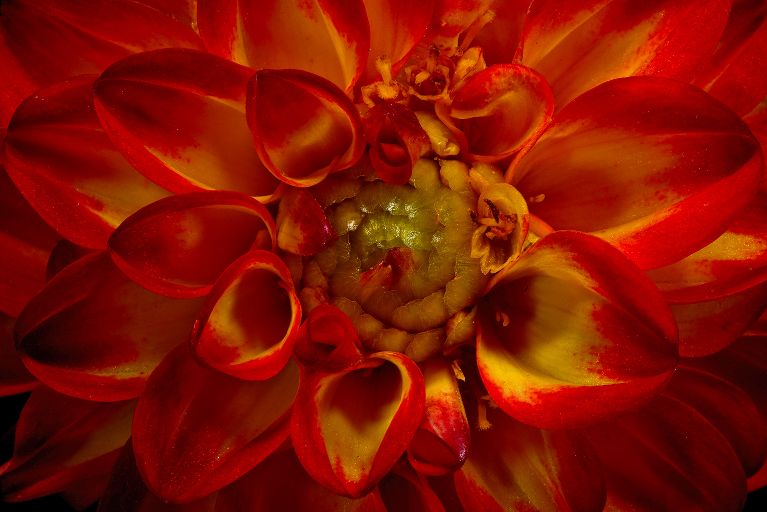 dahlia eye dsc aw author sava gregory and verena