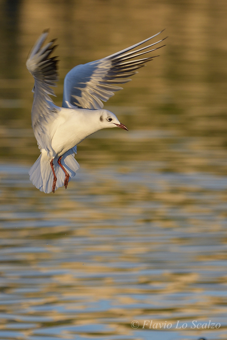 chroicocephalus ridibundus black headed gull au lo scalzo flavio