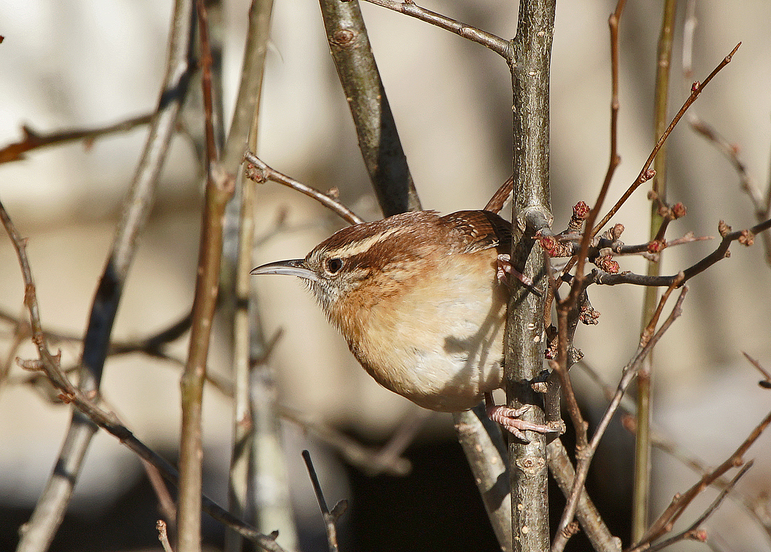 house wren dsc aw author sava gregory and verena