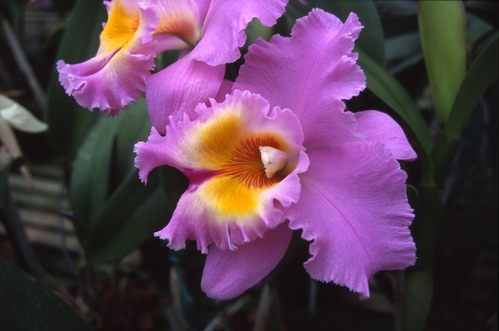 orchid author lucke charlie